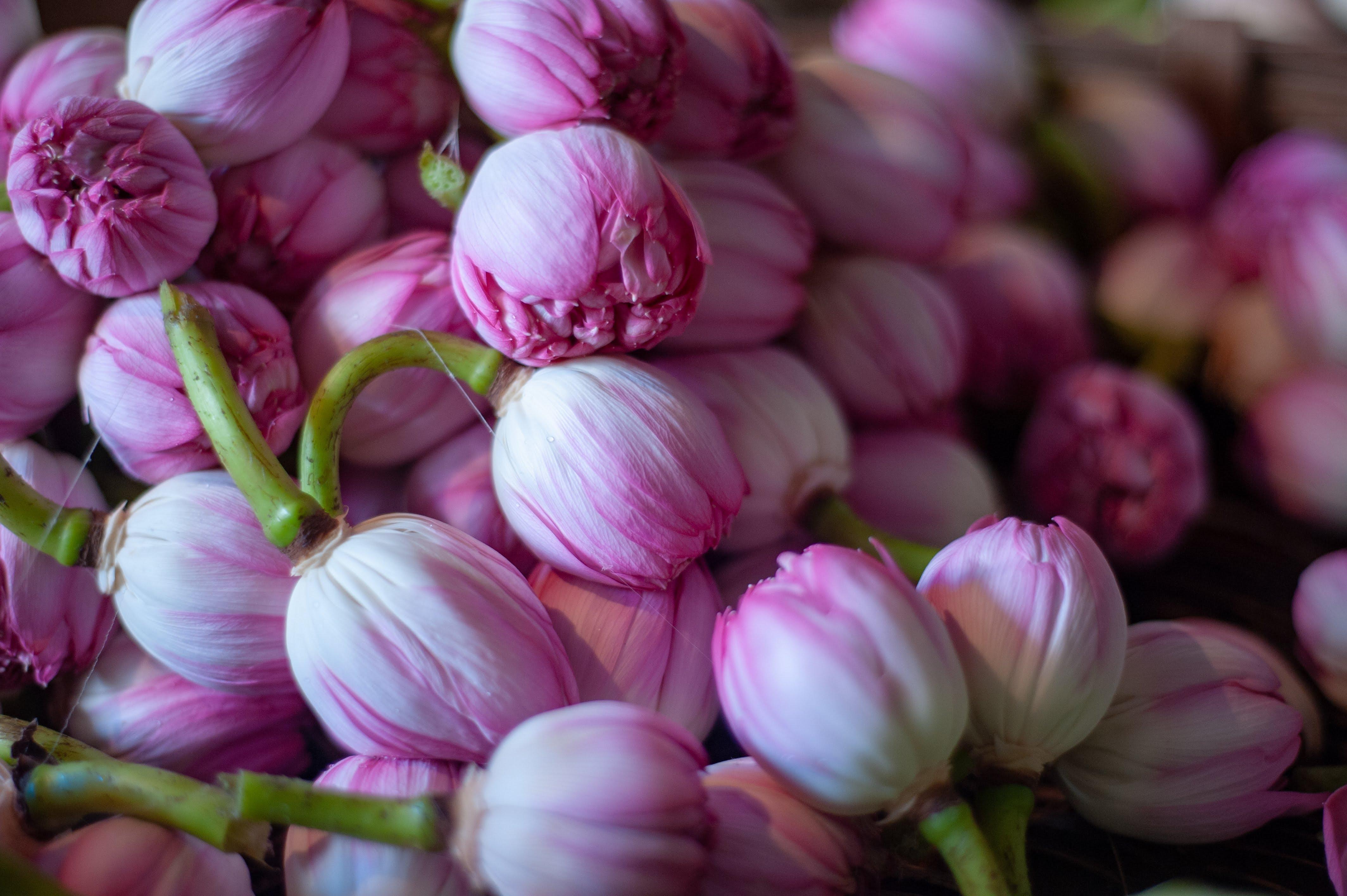 A close up shot of beautiful pink tulip buds.