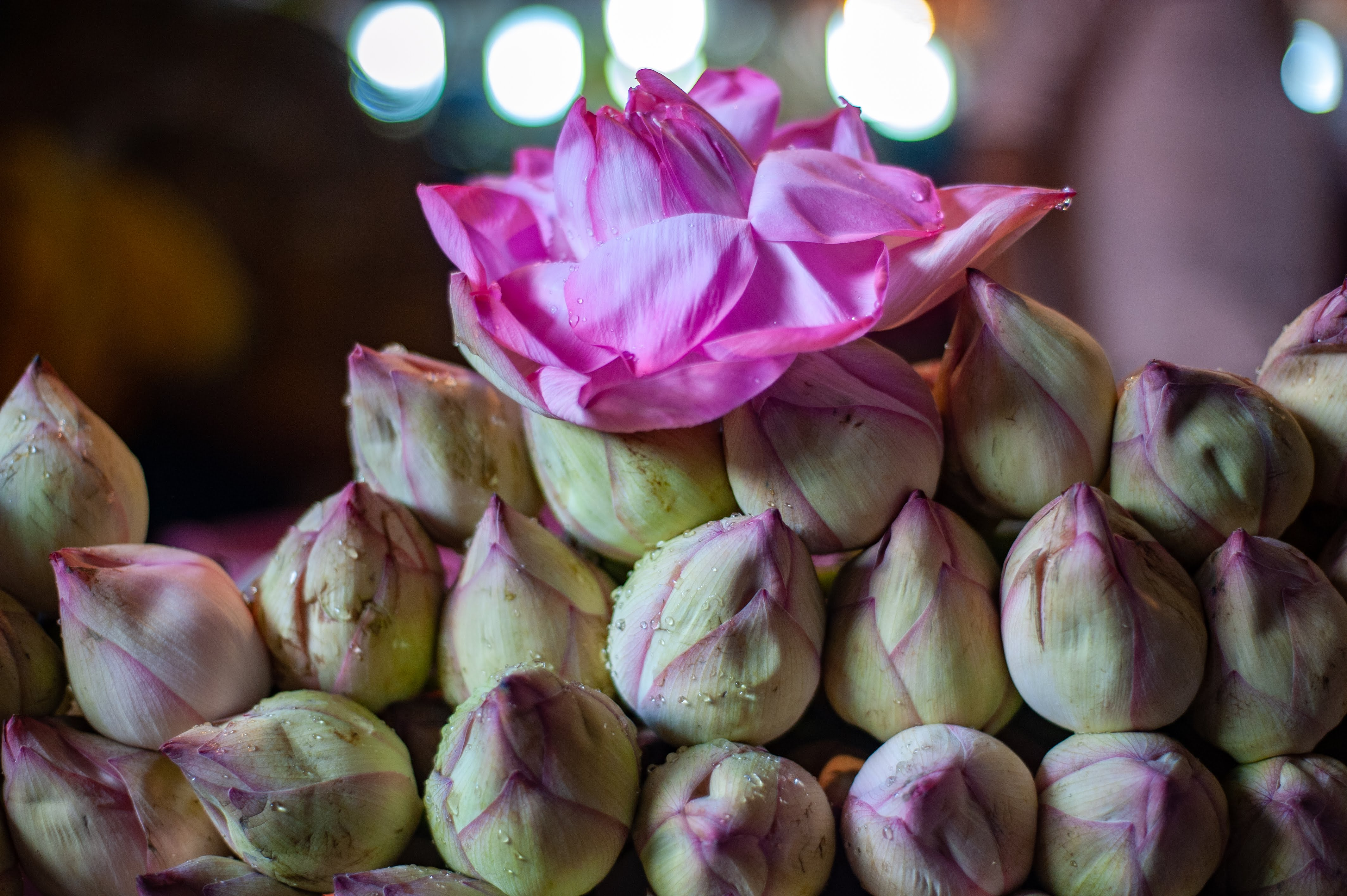 A front, close-up shot of a lotus bloom delicately placed over s stack of lotus buds.